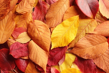 Many autumn leaves as background, top view