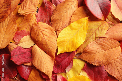 Fototapeta Many autumn leaves as background, top view obraz
