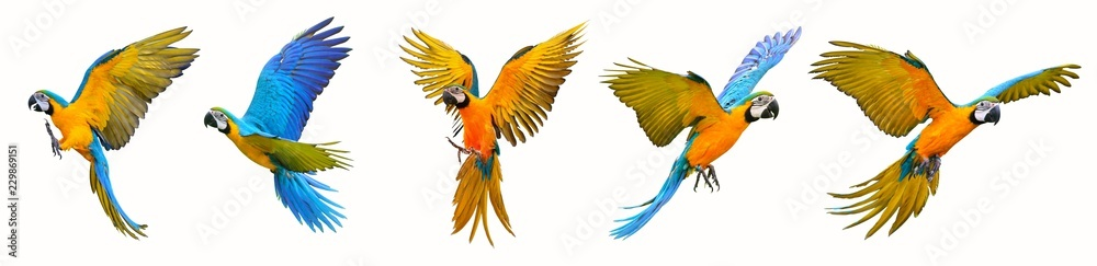 Fototapety, obrazy: Set of macaw parrot isolated on white background