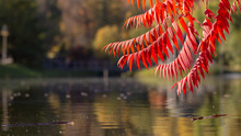 Its Leaves Have A Wonderful Coloration Of Autumn, The Colors Smoothly Pass From Yellow To Crimson.