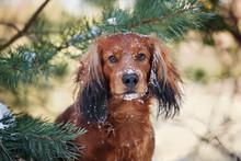 Dachshund Dog Portrait Outdoor...
