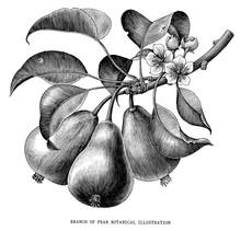 Branch Of Pear Botanical Vinta...