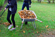 Teen Boy And Girl Raking Dry Autumn Leaves And Throw In Old Metal Wheelbarrow On Green Grass Background In Autumn Day. Children Working In Seasonal Yard Cleaning.