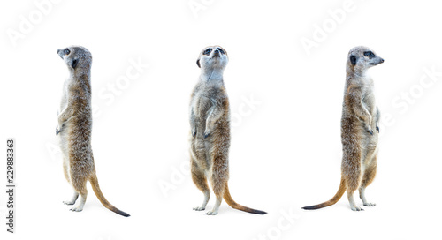 Obraz na plátně Portrait of a three meerkats standing and looking alert isolated on white background
