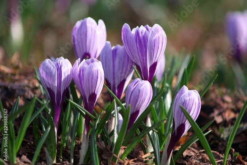Foto op Canvas Krokussen spring crocuses