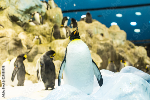 Bird, wildlife and zoo concept - Emperor penguin at the zoo