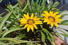 Close-up Of Two Beautiful Gazania Flowers, Nature, Macro