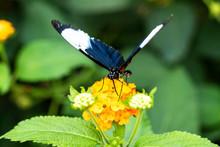 Papillon Heliconius Cydno Sur ...