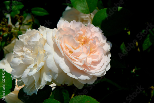 Photographie Hybrid tea white and pink roses.