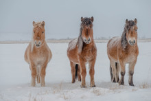 The Horses Of The Yakut Breed (in Yakut - Sylgy Or Sakha Ata) Live Outdoors All Year Round In The Extreme Conditions Of The North. The Breeding Area Of The Breed Includes The Republic Of Sakha (Yakuti