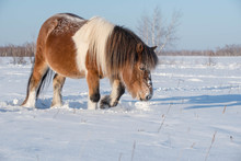 The Yakut Breed Of Horses Is T...