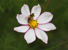 A Little Wasp Gathers Nectra On A Beautiful White Daisy