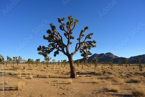 Foto op Aluminium Centraal-Amerika Landen Yoshua Tree National Park Desert
