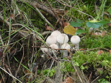 Spiny Puffball Mushroom In The Forest In Autumn