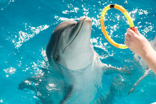 Happy Smiling Bottlenose Dolphins Playing With Colorful Ring In Blue Water. Dolphin Assisted Therapy