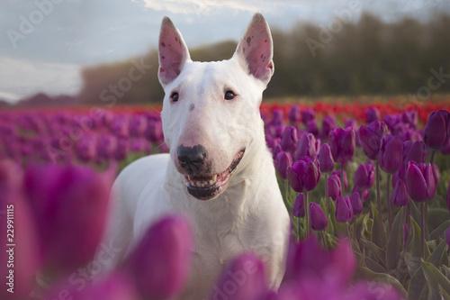 Leinwand Poster bull terrier
