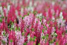 Erica Plants, Winter Flowers In Pink And Purple Close Up. Symbol Of Winter Time And Holidays.