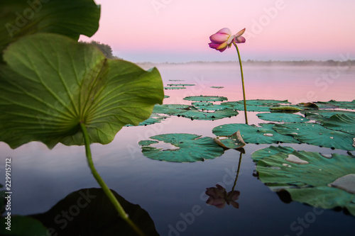 Photo Stands Water lilies Lotus flower on a lake in sunset