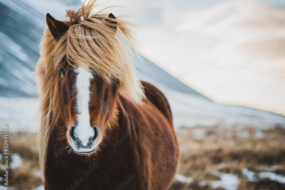 Fototapeta Portrait of Icelandic wild horse