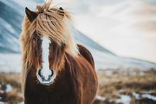 Portrait Of Icelandic Wild Horse