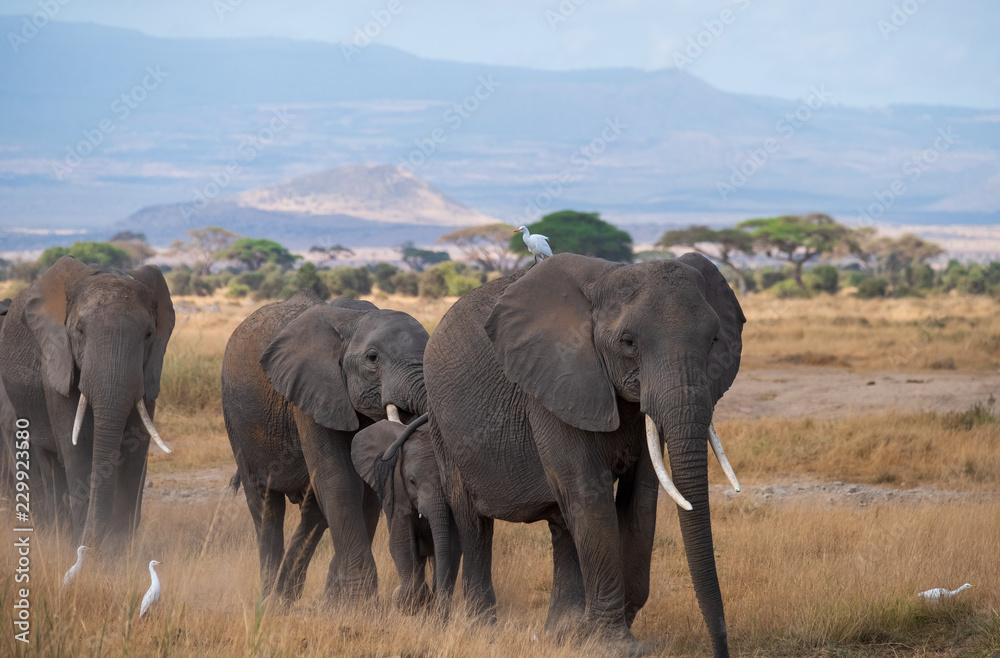walking elephants group