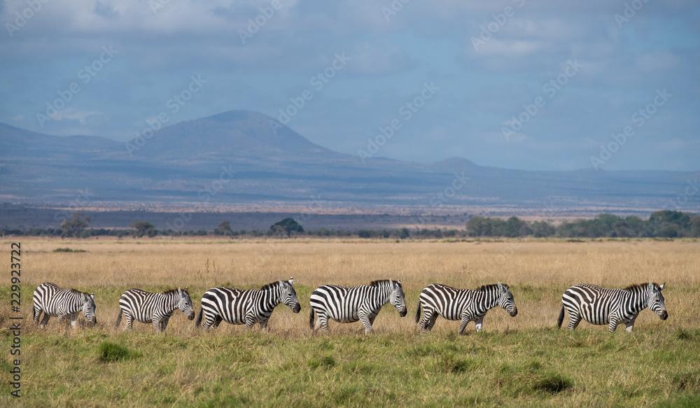 zebra walking in a line