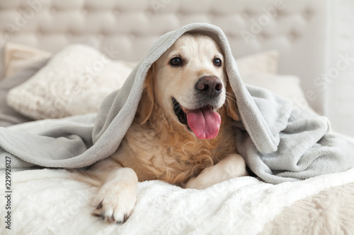 Fotografering Happy smiling young golden retriever dog under light gray plaid