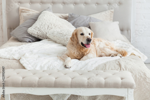 Golden retriever puppy dog in luxurious bright colors classic eclectic style bedroom with king-size bed and bedside table Wallpaper Mural