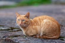 Retrato De Gato Anaranjado En La Calle