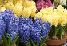 Pretty Hyacinth Flowers Compos...
