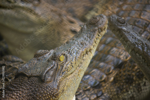 Crocodile in the water, In Pattaya Crocodile Farm and Zoo, Thailand