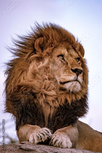 Obraz na płótnie portrait of a lion