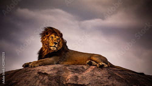 Spoed Fotobehang Leeuw lion on a background of blue sky