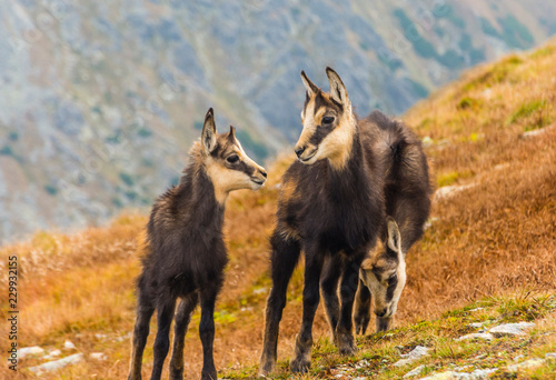 Three young chamois on a grassy slope in autumn in the Tatras.