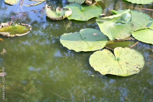 Fotografie, Obraz  Water lilies in a pond. Flowers and leaves of aquatic plants.