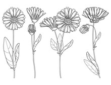 Vector Set With Outline Calendula Officinalis Or Pot Marigold, Bud, Leaf And Flower Bunch In Black Isolated On White Background. Contour Medicinal Plant Calendula For Herbal Design Or Coloring Book.
