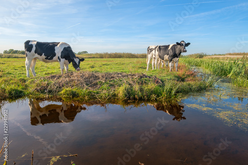 Curious young cows in a polder landscape along a ditch, near Rotterdam, the Neth Fototapeta