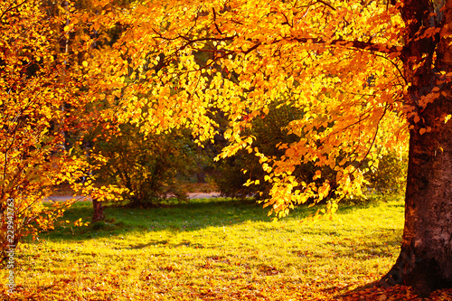 Fototapety, obrazy: Autumn leaves background in sunny day