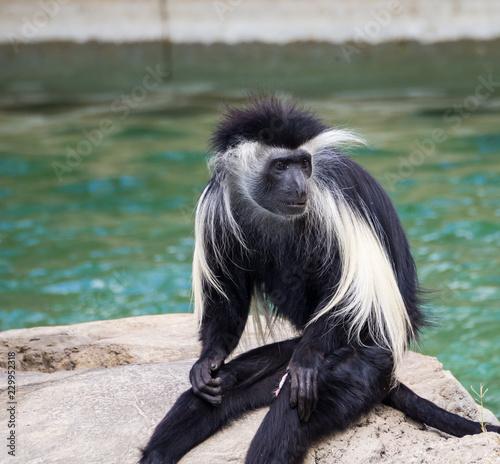 Fotografie, Obraz  Black White Monkey Sitting Rock Water