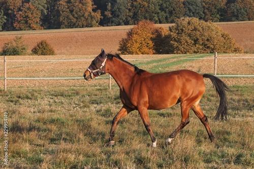 Fotografía  braunes Reitpferd auf der Koppel