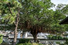 Large Ficus Tree In Sun Yat Sen Memorial House