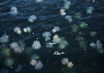 Fototapeta Congestion Millions of jellyfish floating in the sea lagoon as a result of penetration of cold flow. Danger to people swimming. As an unusual background for decoration and creative design