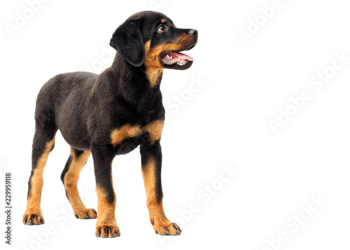 rottweiler puppy in full growth Canvas-taulu
