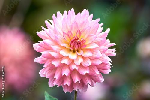 In de dag Dahlia Pink Dahlia flower closeup