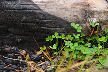 Green Oxalis On The Burnt Grou...