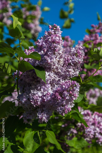 Fotobehang Lilac Beautiful bunch of lilac closeup