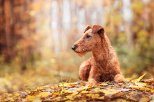 Irish Terrier Breed Lies In Pa...