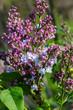Beautiful bunch of lilac closeup. Syringa vulgaris 'Krasavitsa Moskvy'