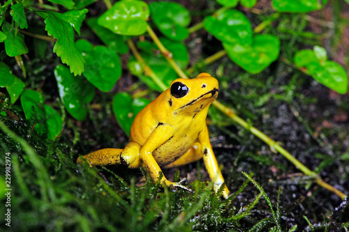 Photo Stands Frog Schrecklicher Pfeilgiftfrosch (Phyllobates terribilis) - Golden poison frog