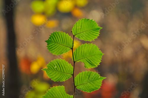 green leaves of alder tree Canvas Print